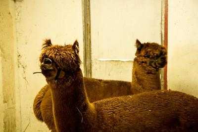 Alpaca Sheering 06-22-2014-12