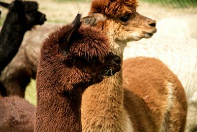Alpaca Sheering 06-22-2014-16