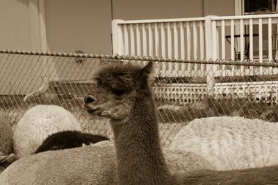 Alpaca Sheering 06-22-2014-9