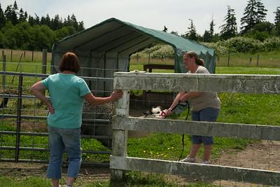 Alpaca Sheering 06-22-2014-28