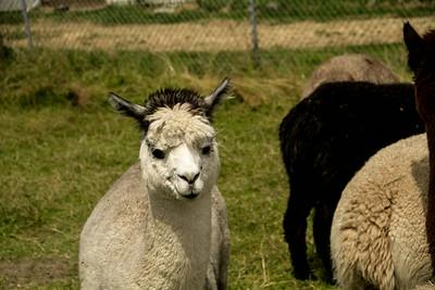 Alpaca Sheering 06-22-2014-21