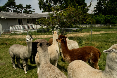 Alpaca Sheering 06-22-2014-18
