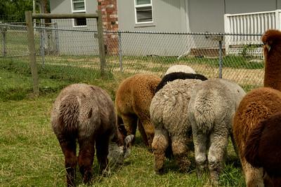 Alpaca Sheering 06-22-2014-7
