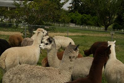 Alpaca Sheering 06-22-2014-23