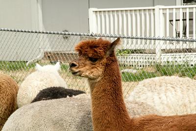 Alpaca Sheering 06-22-2014-8