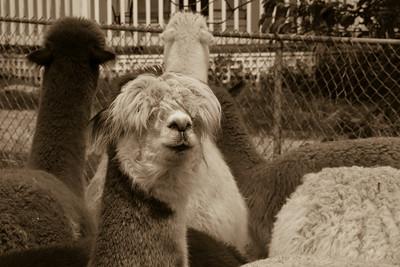 Alpaca Sheering 06-22-2014-5