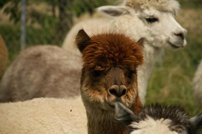 Alpaca Sheering 06-22-2014-26