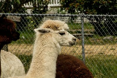 Alpaca Sheering 06-22-2014-6