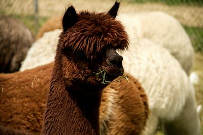 Alpaca Sheering 06-22-2014-17