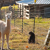 Cria and cat