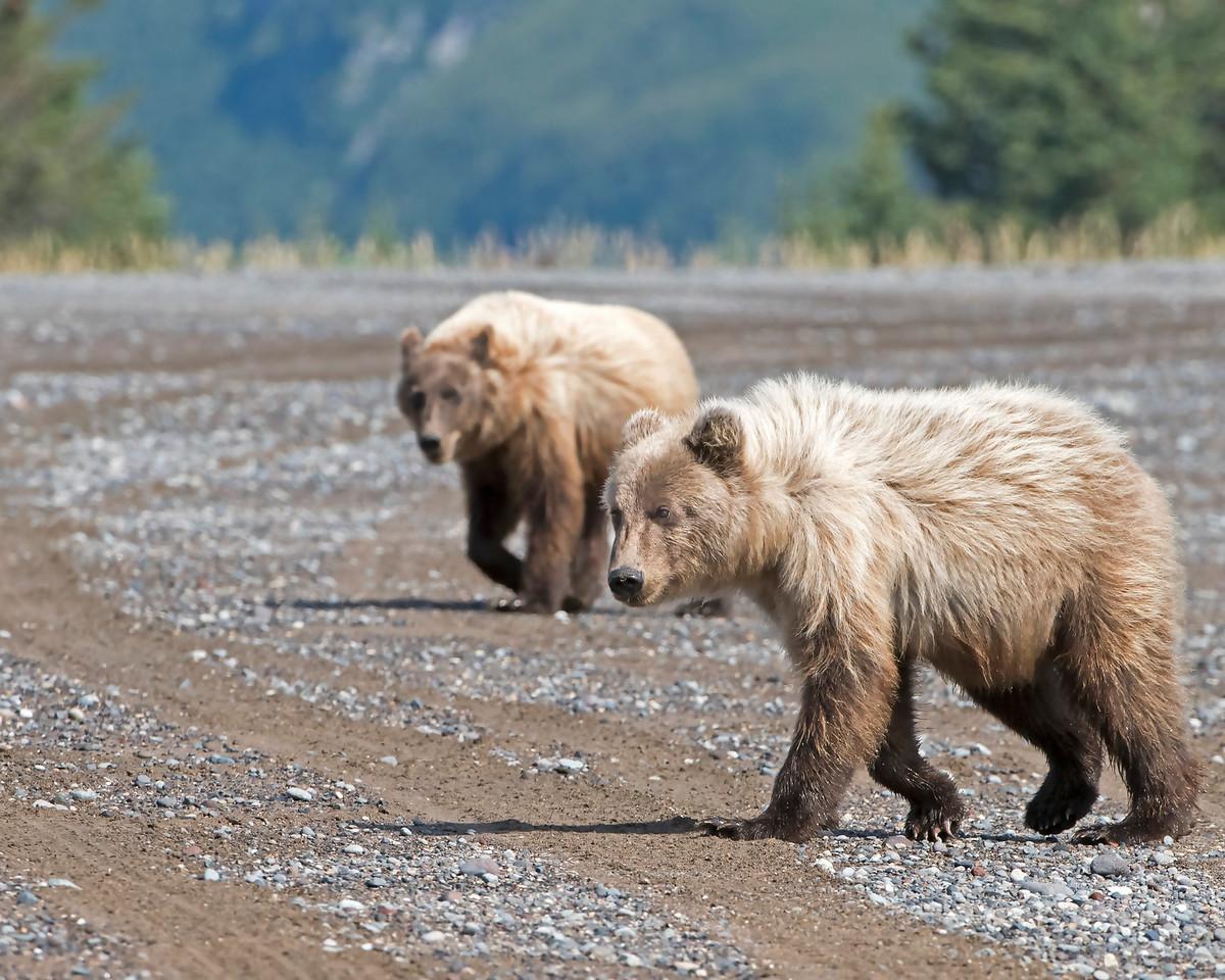 Brown Bear Yearling Cubs