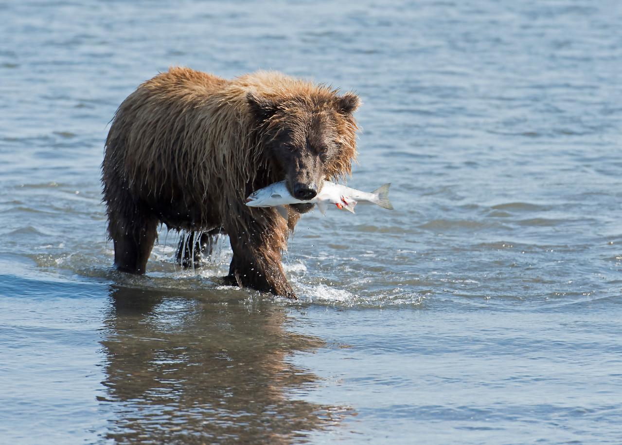Female Coastal Brown Bear with Salmon