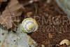 Cuban Viana Land Snail