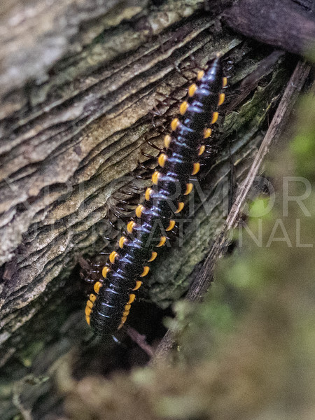 Long-flange Millipede