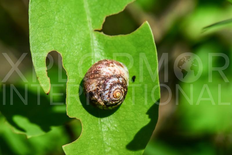Neritimorphan Snail - Need ID