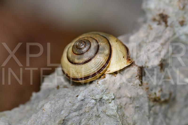 Cepolid Land Snail