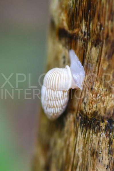 Peanut Snail - Need ID