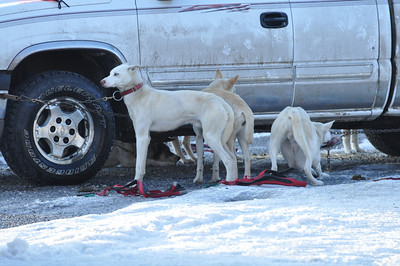 Dogs awaiting the start of the big race. American Dog Derby, Ashton, Idaho. 2.09.