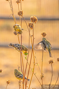 Little finches on the sunflowers in our backyard