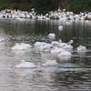 American White Pelicans 11/19/09
