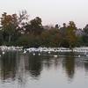American White Pelicans 11/18/09