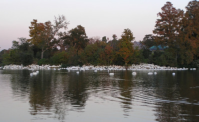 2009 American White Pelicans and geese