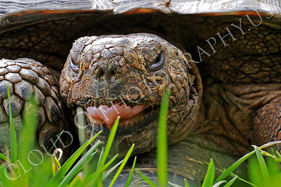 California Desert Tortise 00043 A California desert tortise with its tongue partially exposed, by Peter J Mancus
