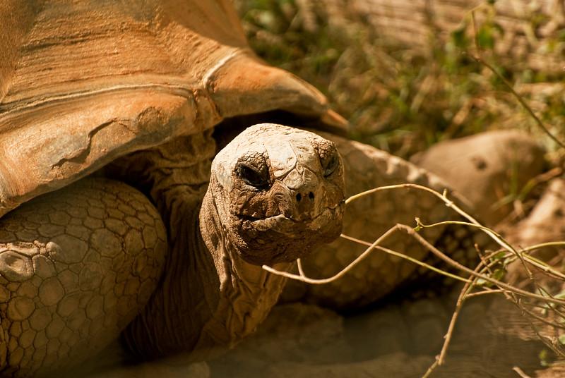 California Desert Tortoise