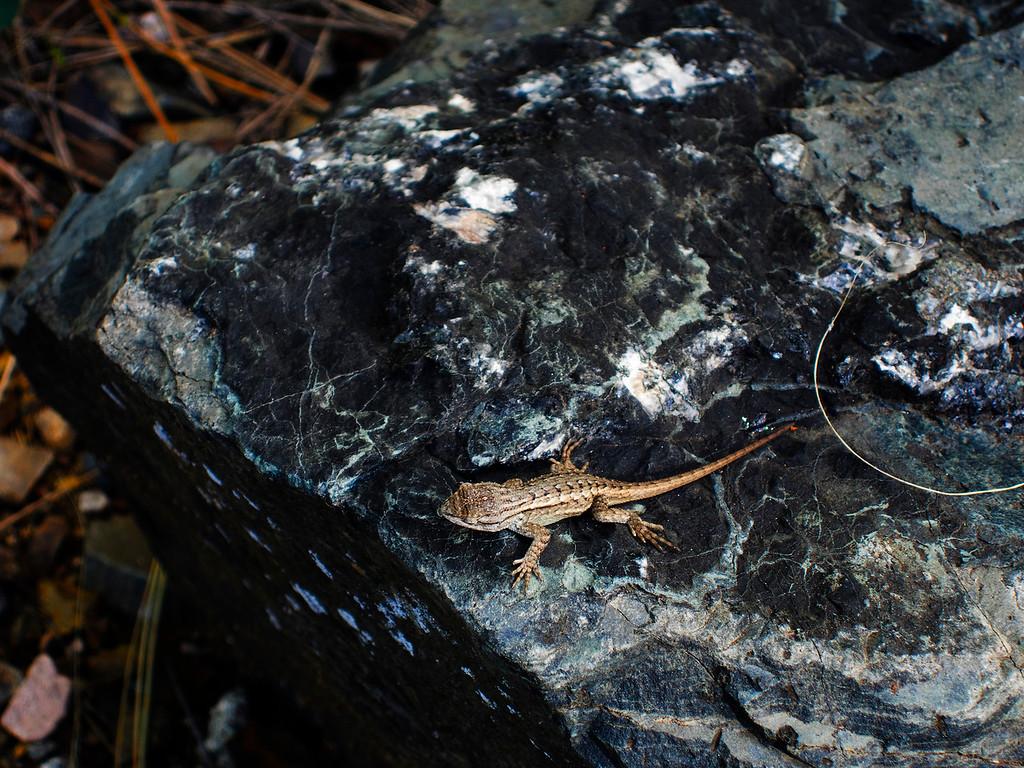 Lizard (compact camera)