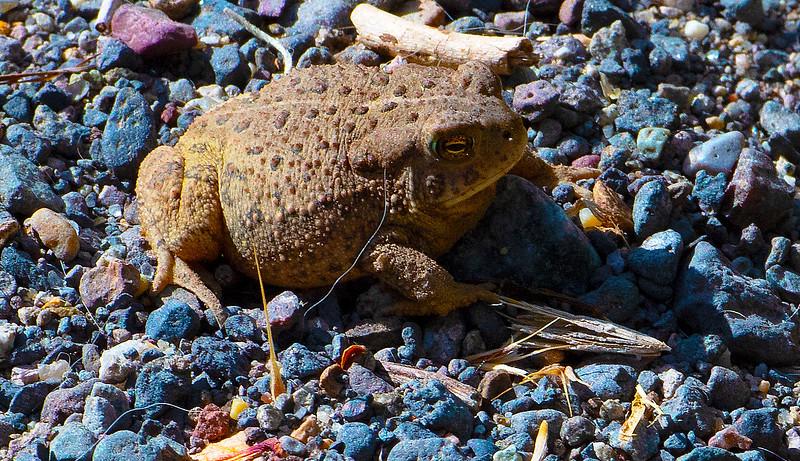 Frog Enlarged