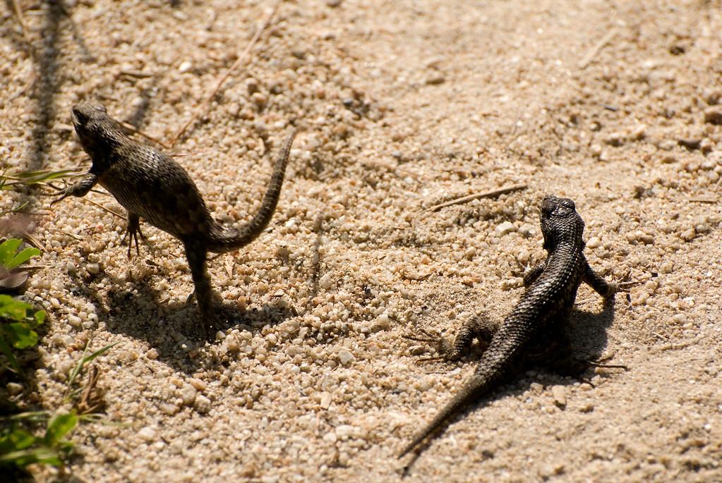 Coast Range Fence Lizards