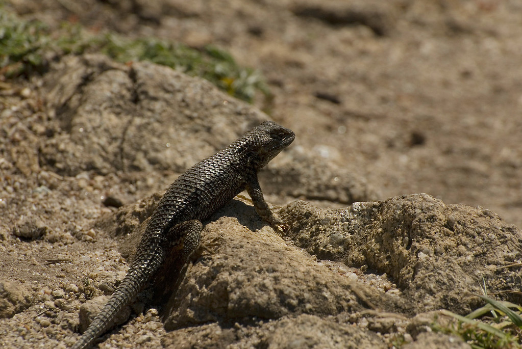 Coast Fence Lizard