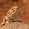 Inland Bearded Dragon from Australia