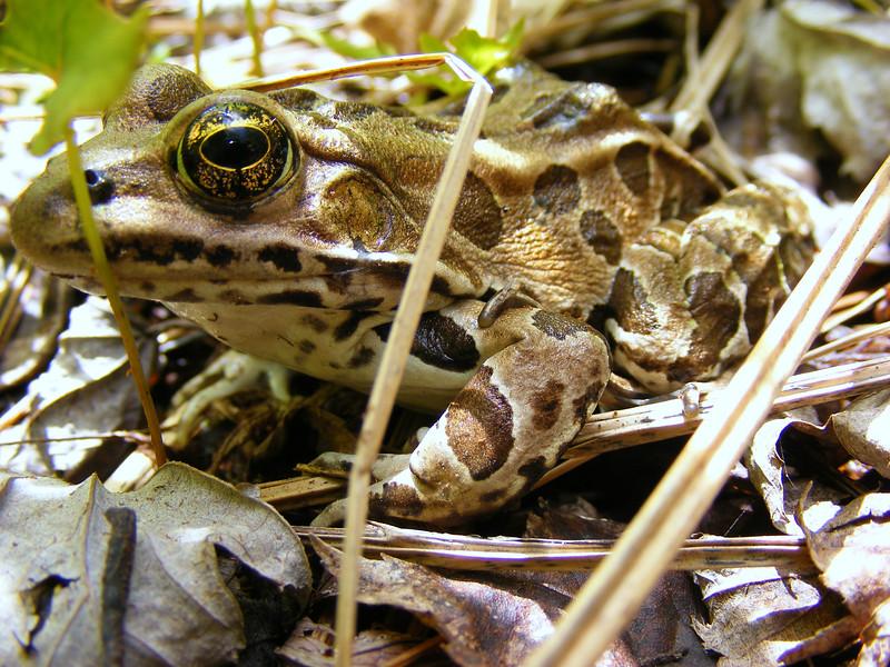 Leopard frog (Rana pipiens)