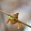 Spring Peeper tree frog