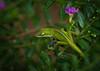 Lizard (anole)