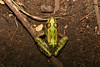 Leopard Frog, Rock County, Wisconsin