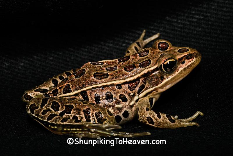 Leopard Frog, Rock County, Wisconsin