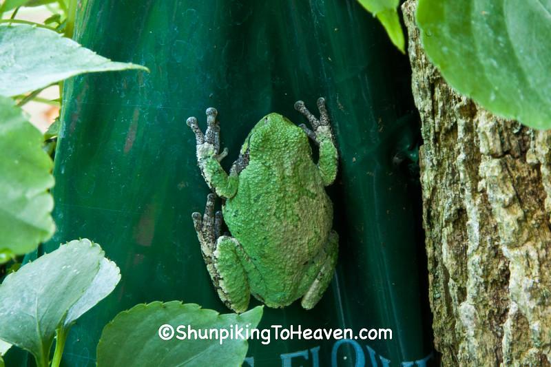 Eastern Gray Tree Frog on Flower Pouch, Dane County, Wisconsin