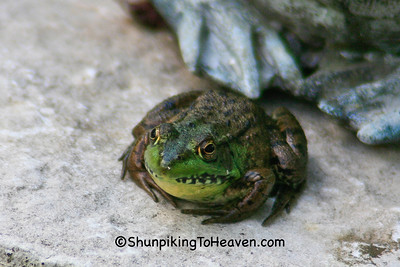 Green Frog, Brown County, Wisconsin