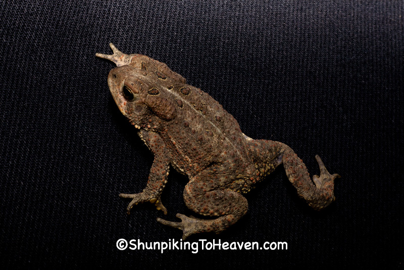 Amerian Toad, Dane County, Wisconsin