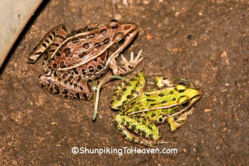 Leopard Frogs, Rock County, Wisconsin