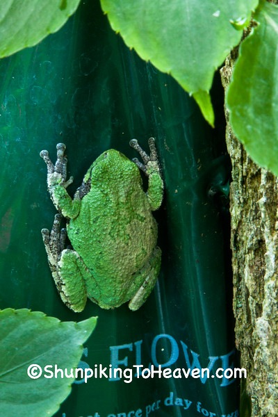 Eastern Gray Tree Frog on Flower Pouch, Dane County, Wisconsin