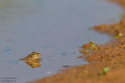 Rio Grande Leopard Frog - Edinburg, TX, USA