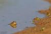 Unidentified Frog - Edinburg, TX, USA