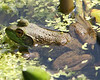 North American Frogs - Amphibians - Fresh Water Biome