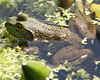 North American Frogs - Amphibiasns - Fresh Water Biome