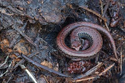 Pacific Slender Salamander - Thornewood Open Space Preserve, CA, USA