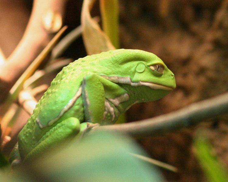 Waxy Monkey Frog - China & other Asia - Amphibian