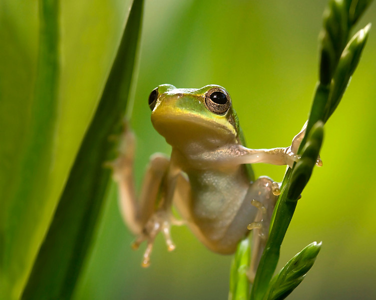 A squirrel tree frog hangs on. This image won second place in the 2010 Outdoor Alabama photo contest in the reptile amphibian category.